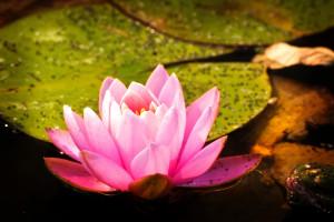 pink-lotus_f1xJcvFO